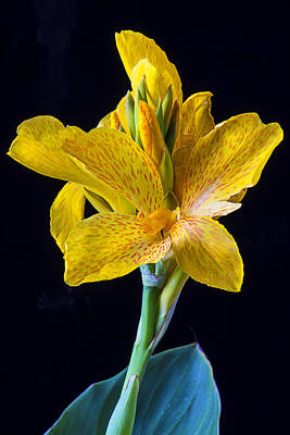 Canna Photograph - Yellow Canna Flower by Garry Gay