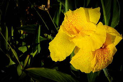 Yellow Canna Singapore Flower Print by Donald Chen