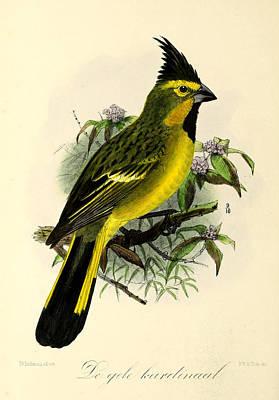 Cardinal Painting - Yellow Cardinal by J G Keulemans