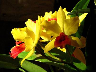 Yellow Cattleya Orchid Print by Alfred Ng