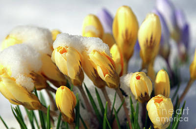 Yellow Crocuses In The Snow Print by Sharon  Talson