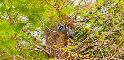 Bird Nest Photograph - Yellow-crowned Night Heron Nyctanassa by Panoramic Images