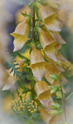 Yellow Digitalis Print by Maj Seda