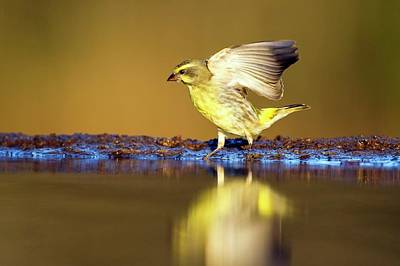 Yellow-eyed Canary Landing At Water Print by Peter Chadwick