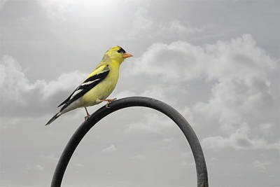 Yellow Finch A Bright Spot Of Color Original by Christine Till