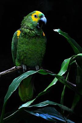 Yellow Fronted Amazon  Print by Diana Angstadt