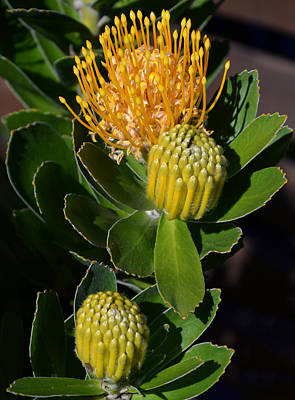 Front View Photograph - Yellow Glory by Leana De Villiers