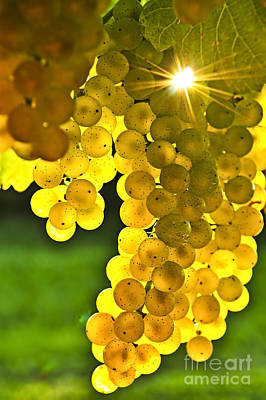 Vineyard Photograph - Yellow Grapes by Elena Elisseeva