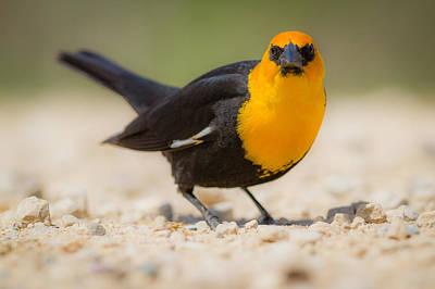 Yellow Headed Blackbird Print by Chris Hurst