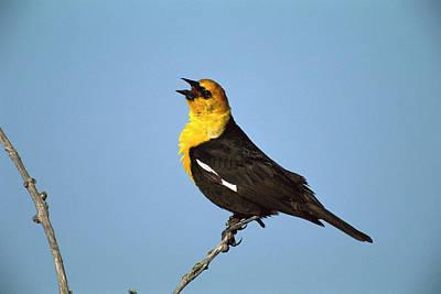 Blackbird Photograph - Yellow-headed Blackbird Singing by Tom Vezo