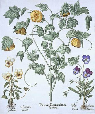 Yellow Horned Poppy Print by German School
