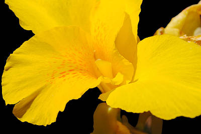Yellow Canna Lily Print by Renee Perran