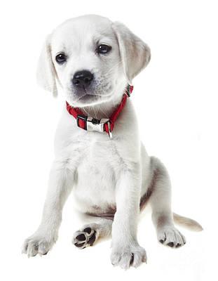 Labrador Retriever Photograph - Yellow Lab Puppy by Diane Diederich