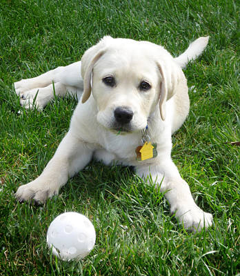 Yellow Lab Puppy Got A Ball Print by Irina Sztukowski