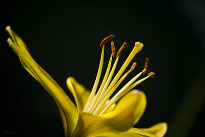 Yellow Lily Print by Christina Rollo