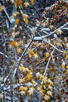 Snowstorm Mixed Media - Yellow Maple And Snow by John Haldane