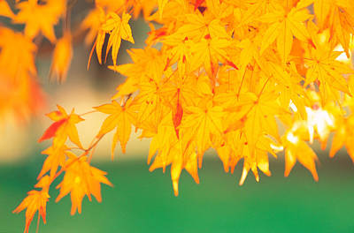 Shiny Leaves Photograph - Yellow Maple Leaves, Autumn by Panoramic Images