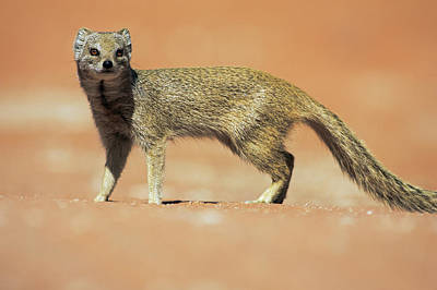Yellow Mongoose In Kalahari Desert Print by Heike Odermatt