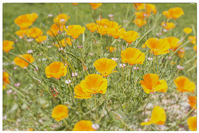 A Sunny Morning Photograph - Yellow Poppy Field by Georgia Fowler
