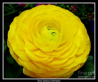 Buffalo Photograph - Yellow Ranunculus Flower by Rose Santuci-Sofranko