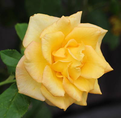 Yellow Rose Print by Cathy Lindsey