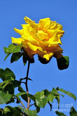 Rose Photograph - Yellow Rose by George Atsametakis