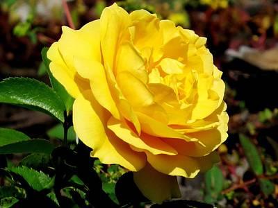Landscape Photograph - Yellow Rose IIi by Zina Stromberg