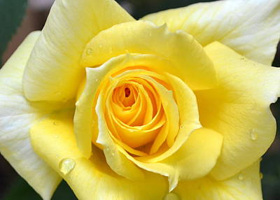 Closeup Print featuring the photograph Yellow Rose L by Michelle Calkins