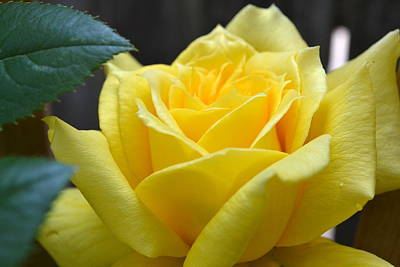 Blossoms Photograph - Yellow Rose Ll by Michelle Calkins