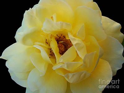 Yellow Rose Print by Nina Ficur Feenan