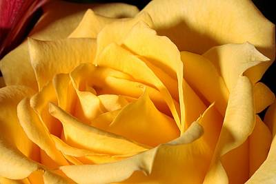 Yellow Rose Of Texas Print by Joe Kozlowski