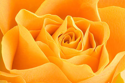 Yellow Rose Print by Tilen Hrovatic