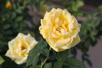 Yellow Roses Print by Valerie Broesch
