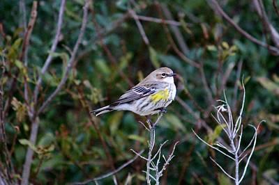 Warbler Digital Art - Yellow Rump Warbler by Cynthia Guinn