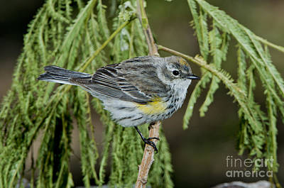 Yellow-rumped Warbler Print by Anthony Mercieca