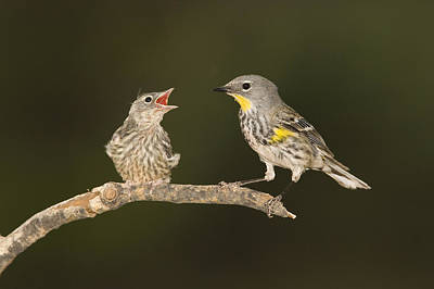 Yellow-rumped Warbler Chick Begging Print by Tom Vezo