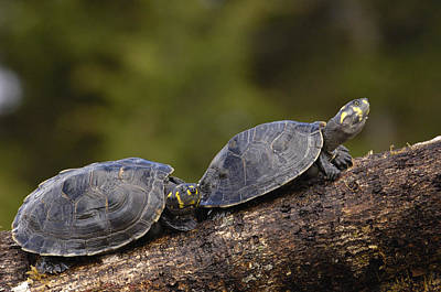 River Turtle Photograph - Yellow-spotted Amazon River Turtles by Pete Oxford
