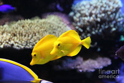 Yellow Tang Tropical Fish 5d24887 Print by Wingsdomain Art and Photography