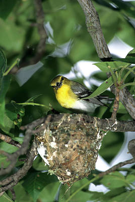 Bird Nest Photograph - Yellow-throated Vireo (vireo Flavifrons by Richard and Susan Day