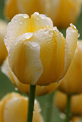Tulpe Photograph - Yellow Tulips by Juergen Roth