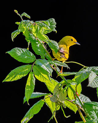 Warbler Photograph - Yellow Warbler by Bill Wakeley