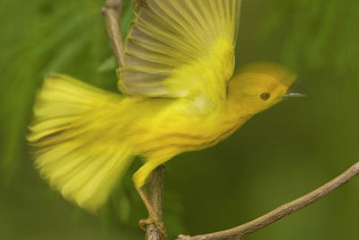 Warbler Photograph - Yellow Warbler Male Taking Flight by Tom Vezo