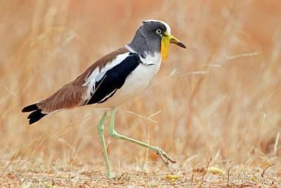 Wattle Photograph - Yellow-wattled Lapwing by Bildagentur-online/mcphoto-schaef