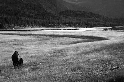 Yellowstone Bison Wyoming Print by Aidan Moran