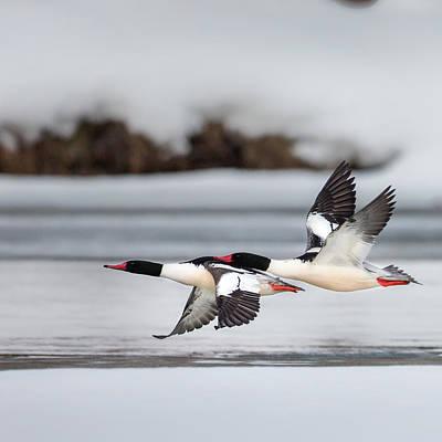 Ducks In Flight Photograph - Yin Yang Square by Bill Wakeley