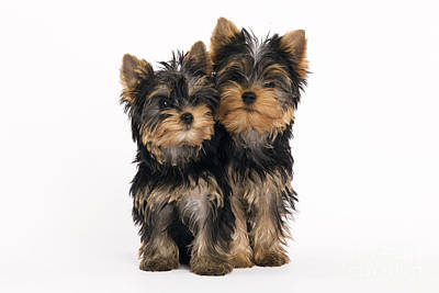 Yorkie Puppies Print by Jean-Michel Labat