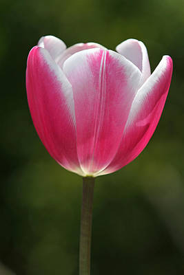 Tulpe Photograph - You Are All I Need by Juergen Roth