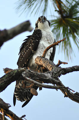 Osprey Digital Art - You Looking At Me by Bill Cannon