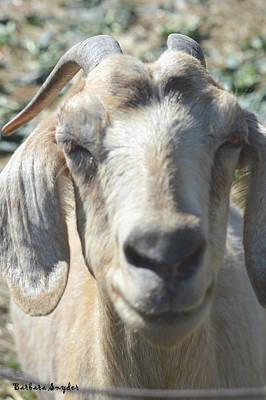 Goat Digital Art - You Old Goat by Barbara Snyder