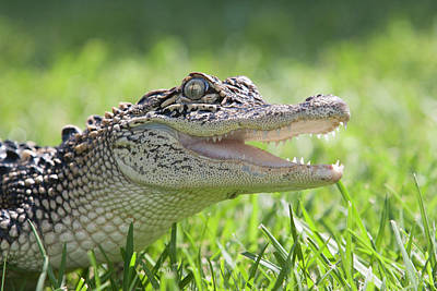 Alligator Photograph - Young Alligator With Mouth Open by Piperanne Worcester